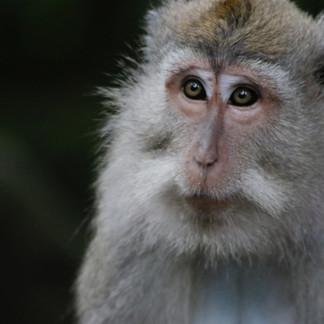 Ces macaques peuples les forêts tropicales de Bali. Dans la religion hidouiste, ils sont les gardiens des temples et sont donc vénérés.