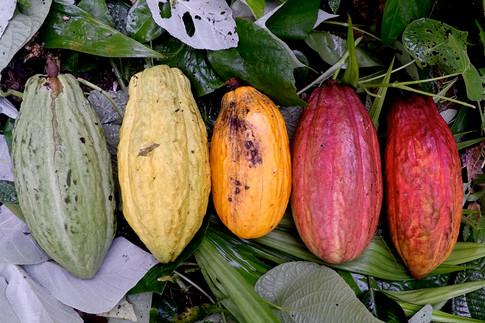 Le cacao est une plante sacrée dans la culture Kuna, elle est utilisée pour les cérémonies, les rituels et la préparation de médicaments. Les Kuna sont par ailleurs de grands consommateurs de cacao, avec lequel ils font la boisson qu'ils appellent le kokoa, et qui expliquerait peut-être leur étonnante longévité. Plusieurs Kuna ont déjà vécu jusqu'à 120 ans!