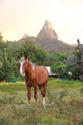 Un des chevaux d'Hakahetau, sur la plaine littorale.   Les chevaux ont été introduits aux Marquises au 19ème siècle par les missionnaires.  Il existe encore de nombreux chevaux sauvages à Ua'Pou que l'on peut observer dans les montagnes et sur les falaises.   Certains habitants continuent à les capturer et les dresser.  Ils sont très utiles pour les aider dans leur jardin-potager (le fa'apu), plus haut dans la vallée, ou encore pour transporter les sacs de coprah.   Il y a encore 30 ans, il n'y avait pas de voitures et les habitants se servaient des chevaux pour se rendre d'une vallée à l'autre.