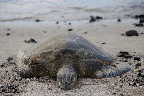 Une tortue verte se repose à marée haute sur le sable blanc du Parc National d'Honokohau.  - Kona -