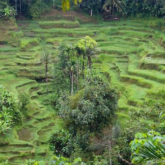 Les rizières en terrasse, dans la région d'Ubud.