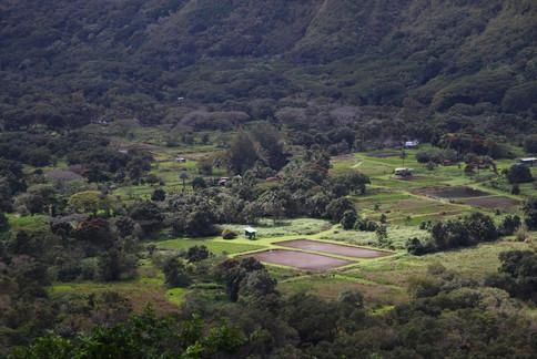 Champs de taro dans la vallée de Waipi'o.