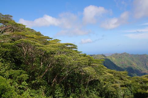 Les falcatas des hauteurs du plateau de Toovii à Nuku Hiva.