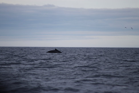 La saison des baleines à bosse.