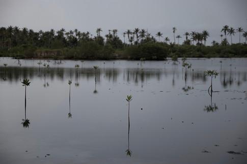 Mangroves en devenir dans le calme de la lagune. La mangrove constitute une barrière naturelle efficace contre l'érosion et les vagues lors des tempêtes.