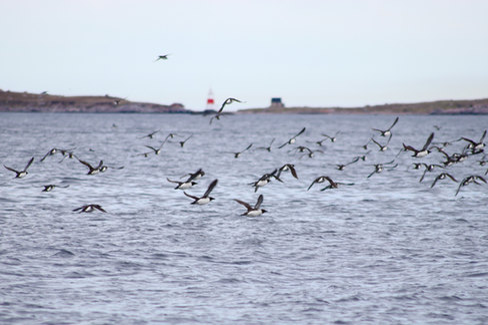 Vols de petits pingouins au large de Saint Pierre.