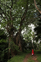 Sur la route de la cascade, nous nous arrêtons devant ce splendide banian.  Les banians sont des arbres sacrés dans la culture marquisienne.  Proches de ces fameux arbres, nous sommes presque sûrs de retrouver des vestiges archéologiques, tels que les paepae (sortes de dalles rocheuses), lieux de rites en tous genres.  L'écorce de cet arbre est également utilisé pour réaliser des tapas.   Cet après-midi là, nous revenons de chez Manfred, un Allemand qui s'est installé dans la montagne avec sa femme marquisienne Thérèse, en parfaite autonomie. Il cultive son fa'apu, fabrique son électricité, s'approvisionne en eau avec les rivières et la pluie et fabrique son propre chocolat. Son chocolat est pur et réputé dans toute l'île.