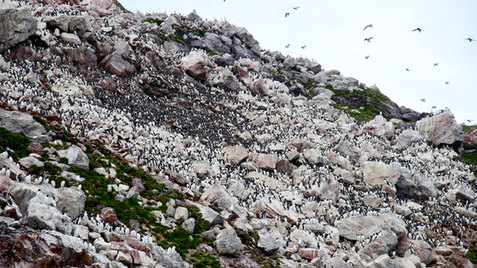 Des colonies de milliers de guillemots, de petits pingouins et de macareux sur les flancs du Grand Colombier.