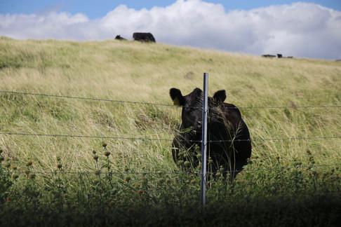 Nous croisons le regard d'une de ces nombreuses vaches noires sur le littoral sud. Les ranchs sont nombreux sur l'île de Big Island. - South Point -