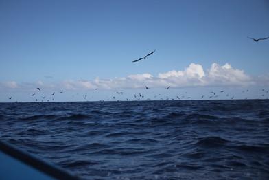 Matinée de pêche avec Dadou. Durant 3h-4h en mer à bord de son petit bateau à moteur, nous avons suivi les oiseaux marins, qui eux-même suivent les bancs de poissons. Toute la chaîne alimentaire est concernée par ces folles poursuites qui se déroulent au large. Les fous plongent pour tenter d'attraper les allevins qui, en bancs, se démènent comme ils peuvent pour rester groupés (stratégie de défense). Ils sont également chassés par les bonites, elles mêmes chassées par les thons, eux-même chassés par les requins ! On peut dire qu'il y a un sacré paquet de monde sous l'eau ! Dadou place le bateau à différentes distances des oiseaux, et change ses hameçons en fonction de ce qu'il veut attraper avec cette technique de pêche à la traîne. Petit hameçon pour les bonites, gros hameçon et gros âpats pour les thons !  Pas de thon pour aujour'hui, mais deux belles bonites !