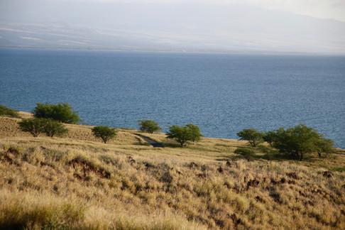 """Quelques """"koas"""", les acacias hawaïens, peuplent les pentes douces des Kohala Mountains au nord-ouest de l'île. C'est la partie de l'île la plus ensoleillée et la plus chaude."""