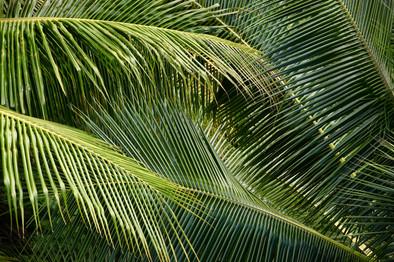 Dans la lumière de fin de journée, les palmes de cocotier prennent différentes teintes vertes. La végétation est luxuriante au village. Ces feuilles ont beaucoup d'utilité dans la vie quotidienne. Par exemple, on en fait des paniers pour y déposer la nourriture que l'on mettra dans le four marquisien. Auparavant, elles étaient utilisées pour les toits des maisons et les parures.
