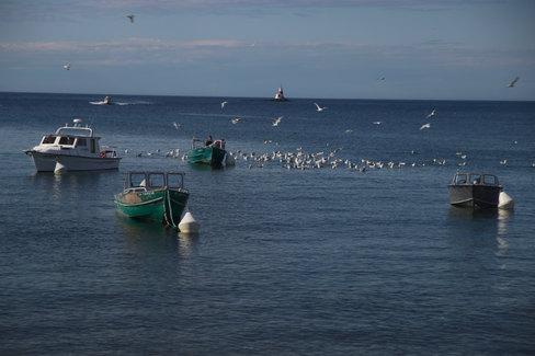 Des goélands viennent chercher les restes de poissons qu'un pêcheur jette à la mer.