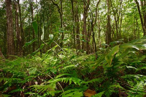 Forêt de plantes natives dans la région d'Honokaa.  - Kalopa State Park -