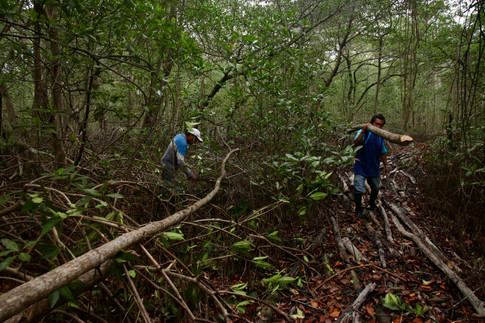 Il existe de nombreuses espèces de mangroves sur le continent. Elles sont de tailles variables (moins d'un mètre à une dizaine de mètres de haut). Les Kuna s'en servent pour contruire leurs maisons. C'est un travail difficile: il faut couper des troncs assez solides avec des machettes et les transporter jusqu'à la pirogue. Ils s'entraident et partagent les frais d'essence d'une pirogue à moteur emprunté.
