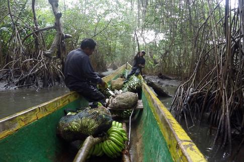 """Ce matin, nous avons accompagné Andrès, notre guide, et ses amis au """"campo"""". La terre qu'il cultive se situe à environ 20 minutes de marche de la côte. Ils doivent se frayer un chemin avec leurs machettes à travers la forêt dense, infestée de moustiques, de chitras (petites mouches noires qui mordent) et de serpents. Une fois les bananes, les cabosses de cacao, les bois de mangroves chargés, nous repartons au village en pirogue."""