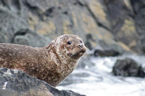 Alors que nous longeons la côte sud-est de Langlade en bateau, nous surprenons un phoque sur un rocher. J'ai juste le temps de le photographier avant qu'il ne disparaisse dans l'eau.