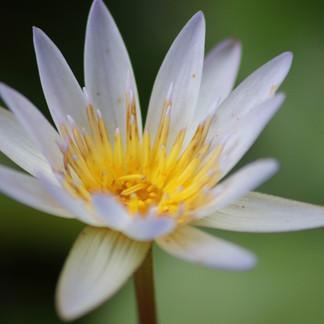 Le lotus, fleur sacrée de la religion bouddhiste (dont l'hindouisme balinais est influencé).
