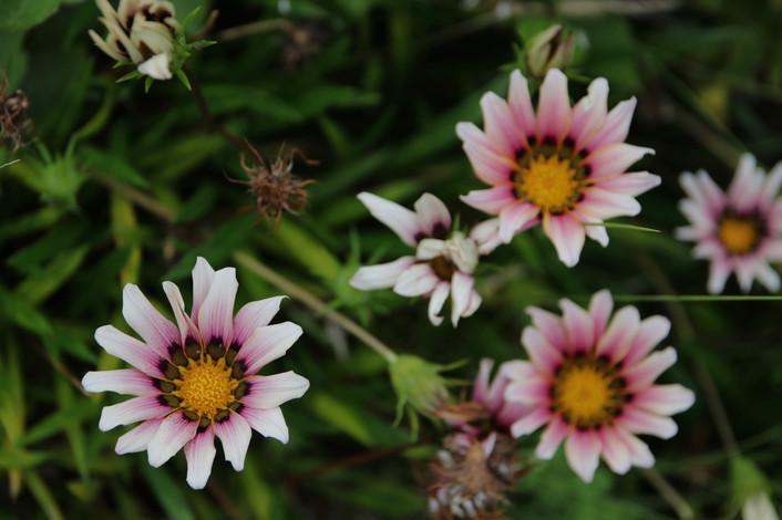 Flores: l'île aux fleurs.