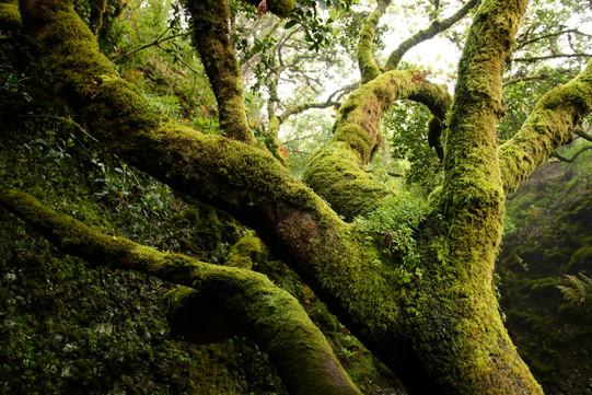 Le Garoé, l'arbre sacré des Guanches, les premiers habitants d'El Hierro (avant la colonisation espagnole). Sur cette île au climat aride, l'eau est rare. Cet arbre a la particularité de retenir les goutelettes d'eau des nuages qui balayent les hauts plateaux de l'île. Les Guanches avaient aménagé des trous en contrebas de l'arbre, afin de récolter l'eau qui s'accumule à ses pieds.