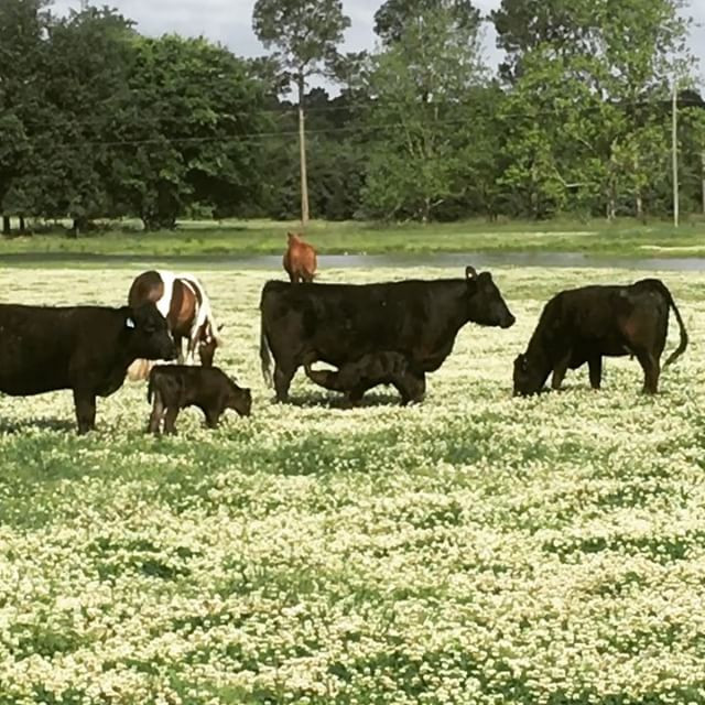 Relaxing in fields of clover.... our far