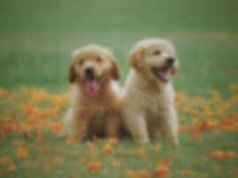 two-yellow-labrador-retriever-puppies-11