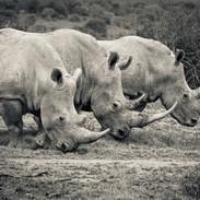 Posed rhino, Eastern Cape, South Africa