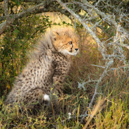 Cheetah cub, Samara Game Reserve, South Africa