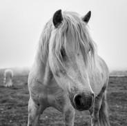 Tyninghame horses, East Lothian