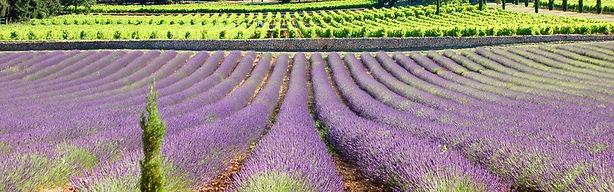 provence-vigne-lavande.jpg