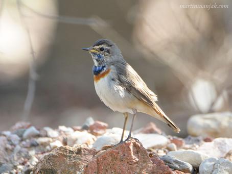 Birding around Eilat, Israel | February 2018