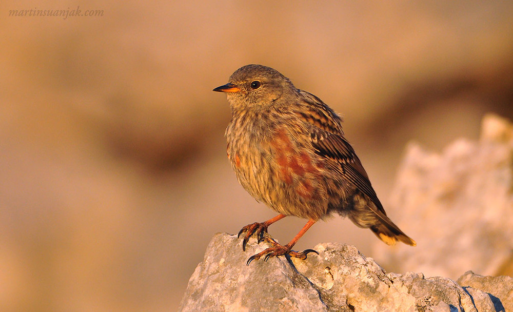 Alpine Accentor   Alpenbraunelle (Prunella collaris). A flock of 40 with a few White-winged Sparrows were found in the early morning near the Schiestlhaus. Hochschwab, Austria.