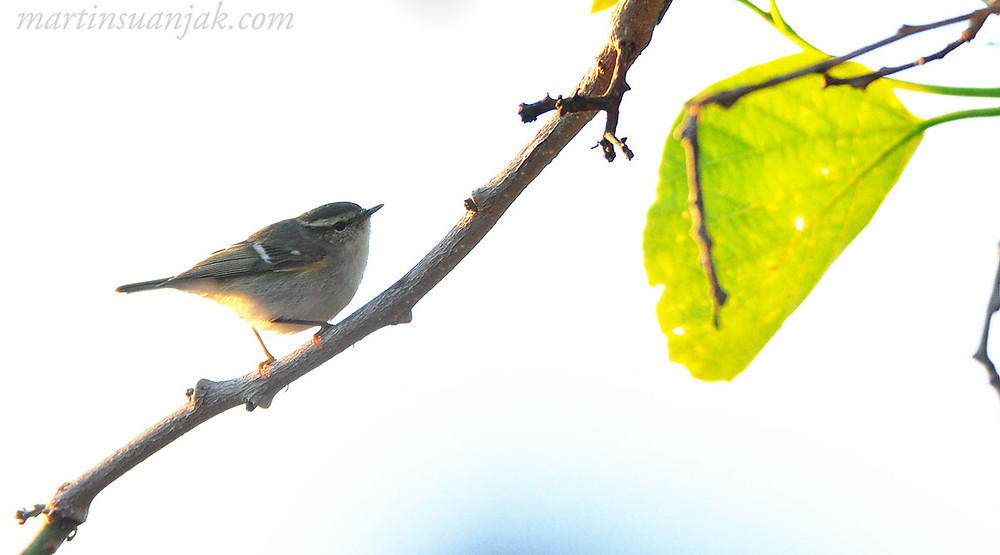 Hume's Warbler | Tienshan-Laubsänger (Phylloscopus humei). This small Central Asian leaf warbler winters in small numbers on Qeshm Island, Iran.