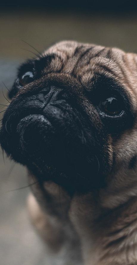 shallow focus photography of adult fawn pug_edited_edited.jpg