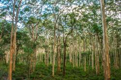 Karri_Forest