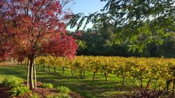 Vineyard in Margaret River
