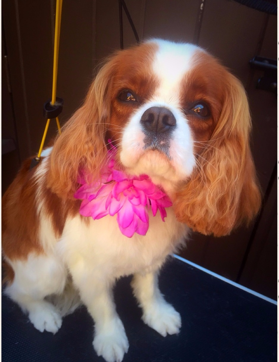 Midgie The Beautiful King Charles Cavalier Dog Groomers In Napa
