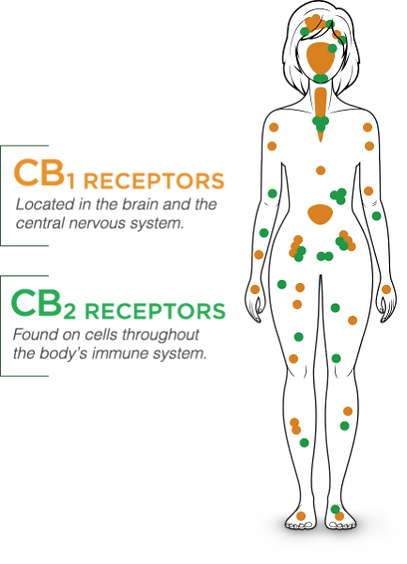 CB1 and CB2 Receptors, Endocannabanoid system in all of us