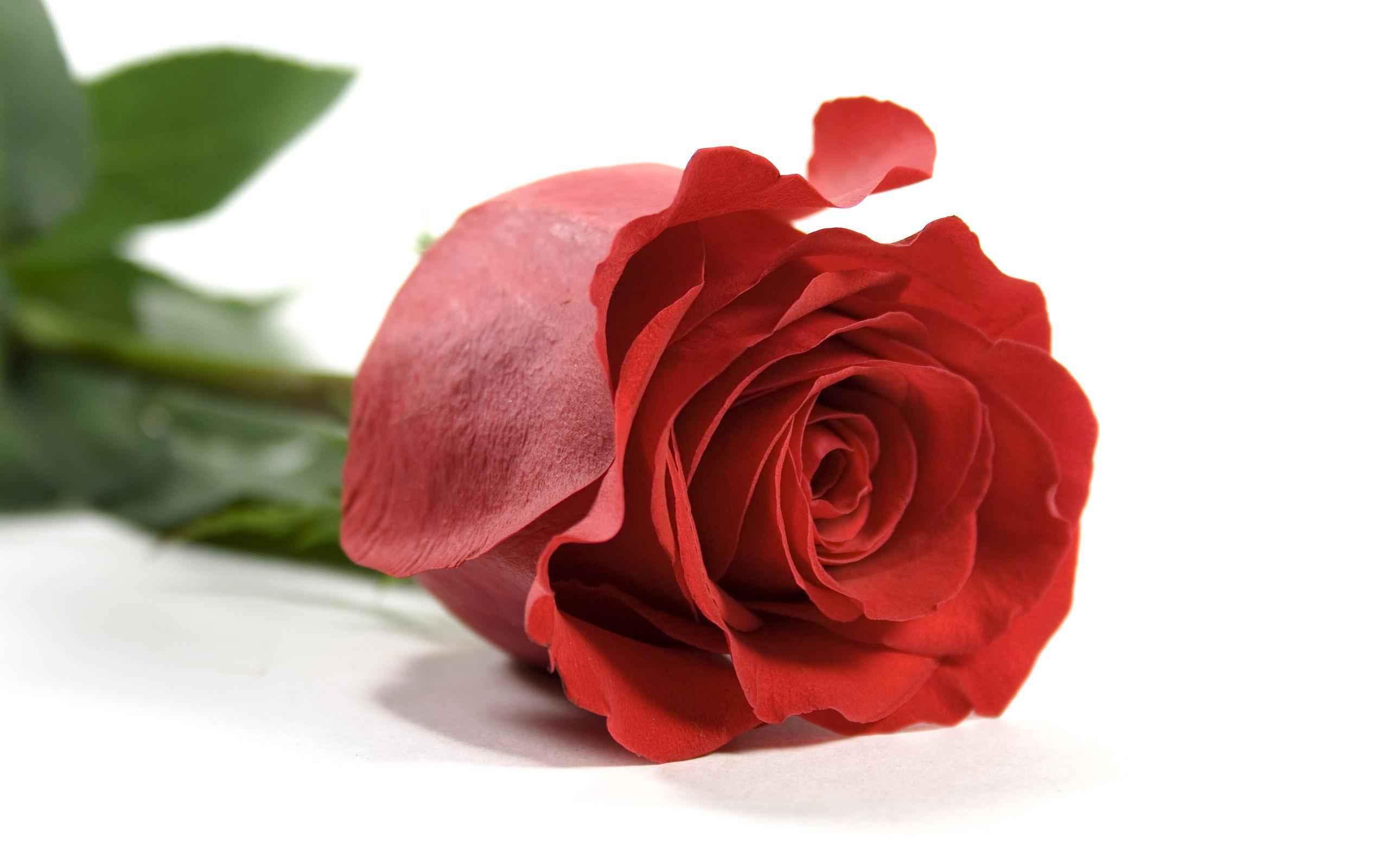 valentine single-rose