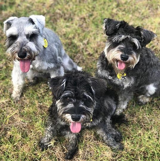 team schnauzer 🌟 heidi, edie and franki