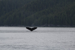 Whale Tail in Rupert