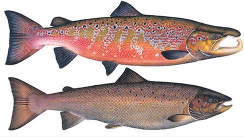 salmon-breeding.jpg