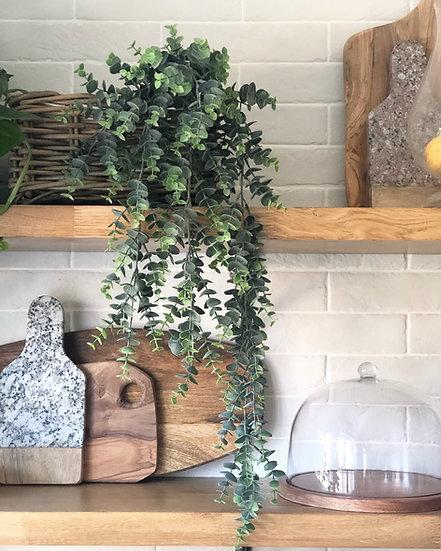 Trailing eucalyptus plant