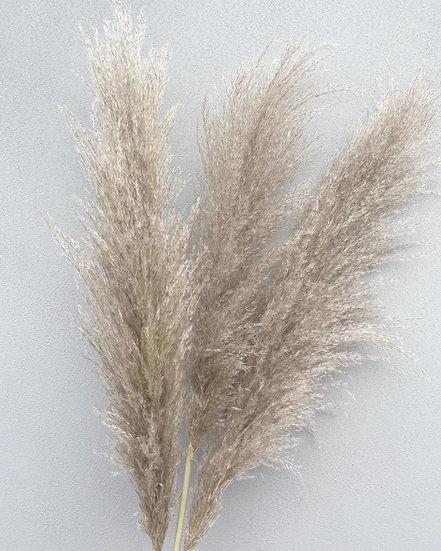 Natural cortaderia pampas