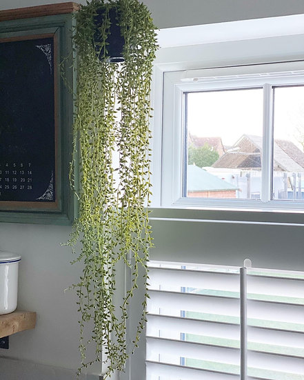 Long70cm trailing senecio in a plastic black pot with hanging wire