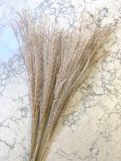 Bunch of miscanthus fans