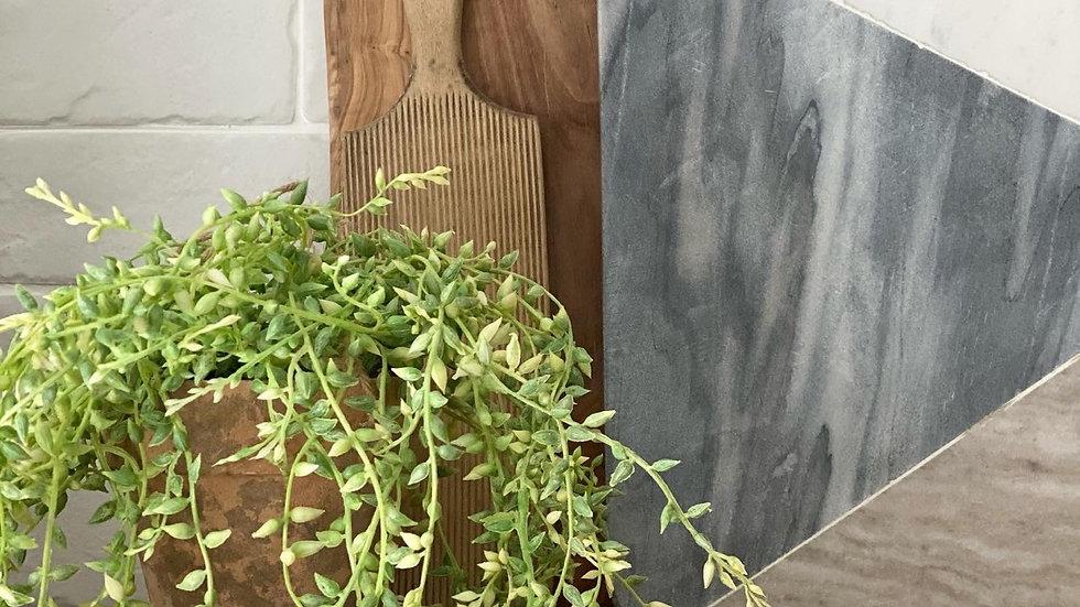Trailing senecio plant with rope hanger