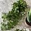 Thumbnail: Ceropegi faux hanging plant