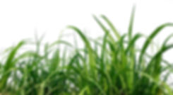 sugar cane.jpeg