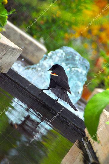 Redwing Blackbird Posing